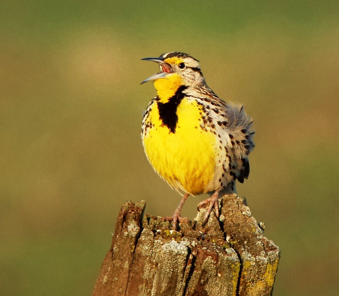 Western Meadowlark - state bird | Oregon | Pinterest