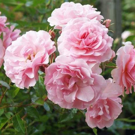 Rosa Happy Retirement Wyevale Garden Centres Happy Retirement