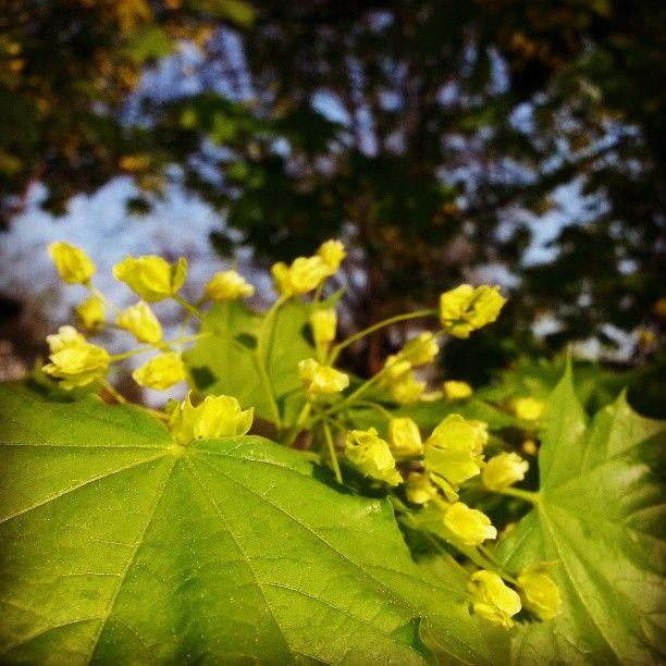 Tavasz Budapesten, fasor, platánvirág #flowers #trees #nature #photography #tree #city #spring