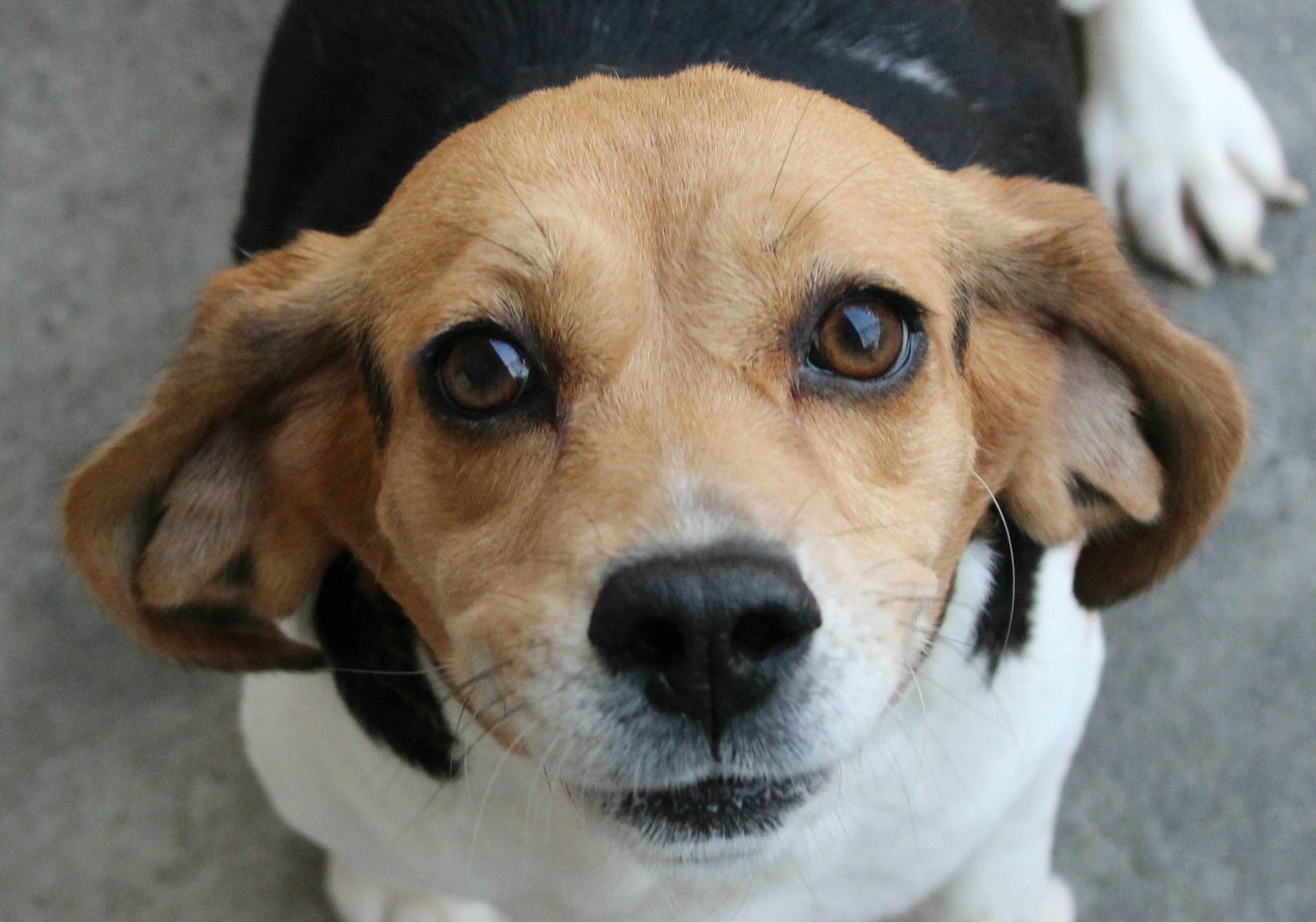 Beagle dog for Adoption in Hilton Head, SC. ADN511105 on