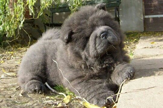 Chow Chow Pup With Images Elaimet Luonto
