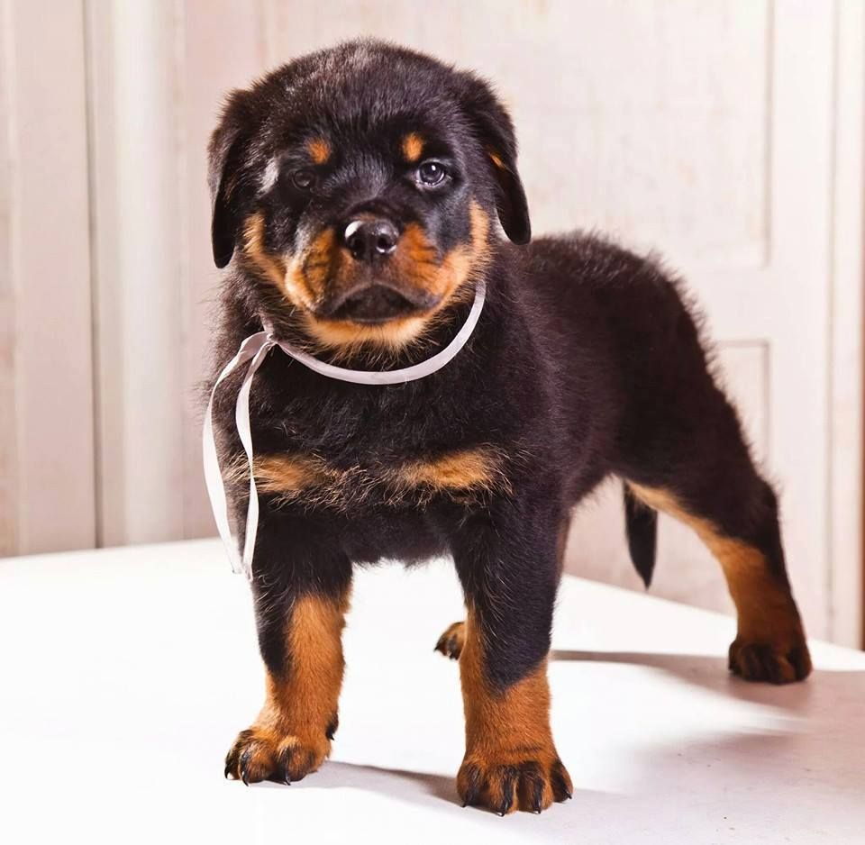 I want this rottweiler puppy rottweiler puppies