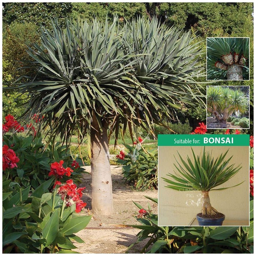 dracaena draco dragon tree seeds pinterest seeds. Black Bedroom Furniture Sets. Home Design Ideas