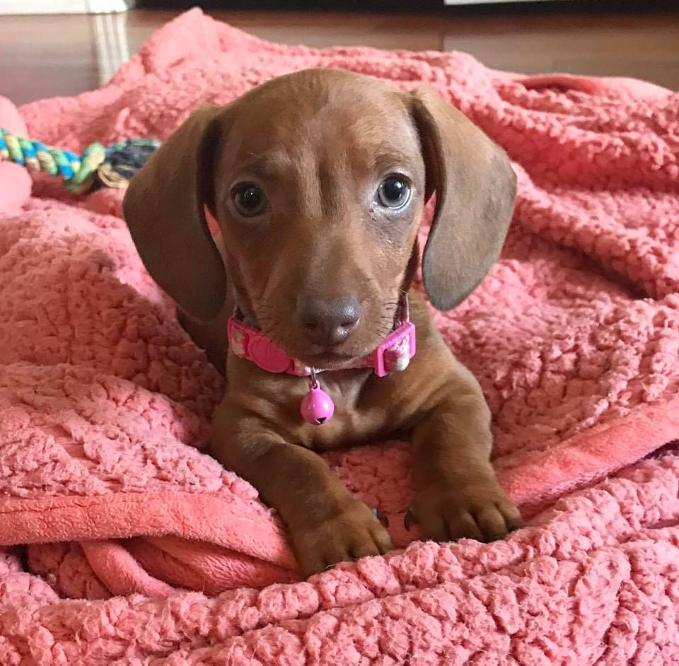 Daisy Mae Portrait 8 Weeks Old Dachshund Puppy Short Haired