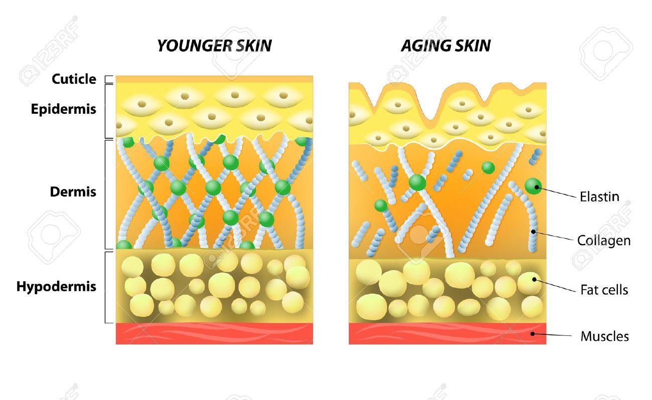 una piel más joven y envejecimiento de la piel. elastina y colágeno ...