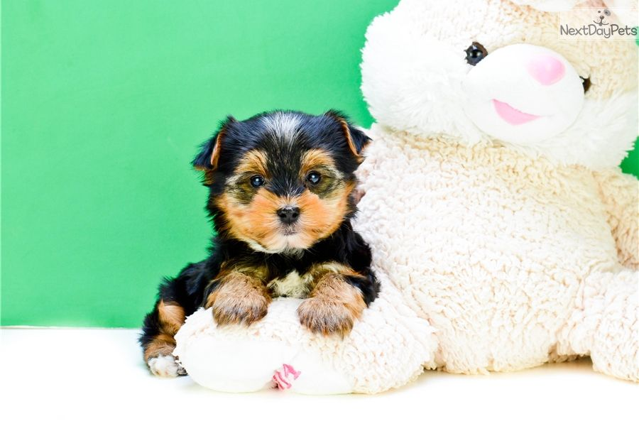 Yorkshire Terrier - Yorkie puppy for sale near Columbus
