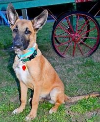 Rolf Is An Adoptable German Shepherd Dog Dog In Edina Mn Name