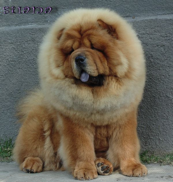 how to train a chow chow