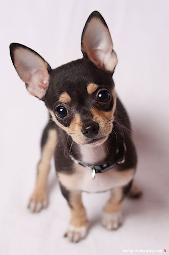 Chihuahua Chihuahua were originated in Mexico and are