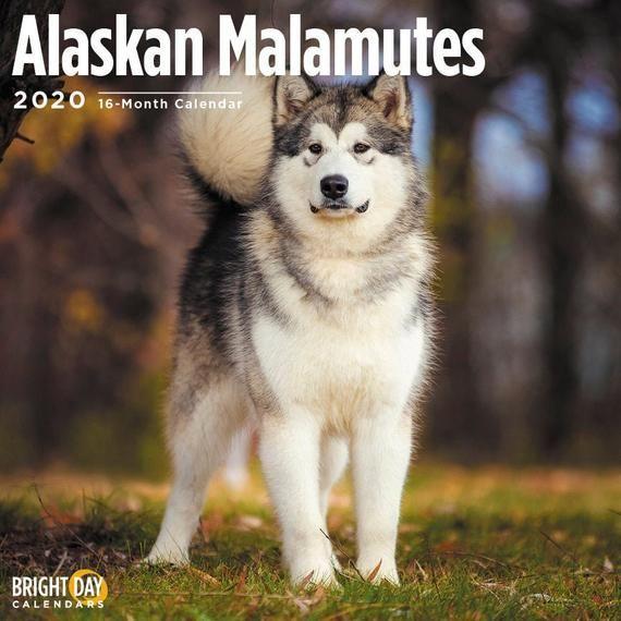 2020 Alaskan Malamutes 16 Month 12 X 12 Wall Calendar Big Dog Cute
