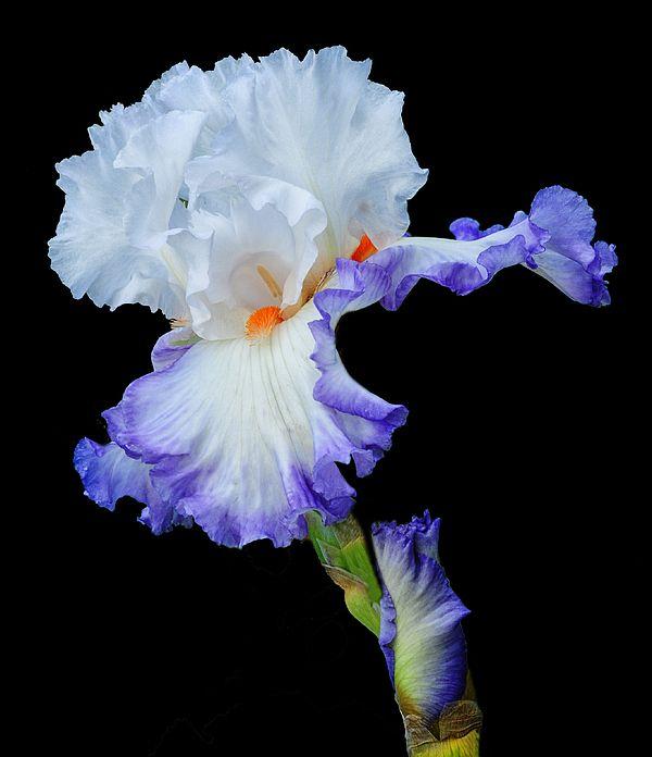 White Iris With A Purple Fringe By Dave Mills White Iris Iris Painting Iris Flowers