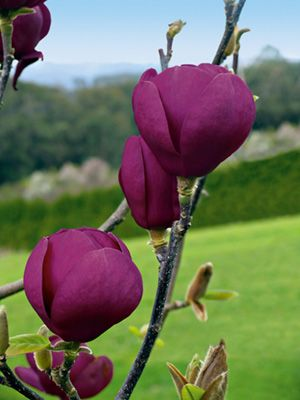 2 New Magnolias From Anthony Tesselaar In The Gardenin The Garden Tulip Magnolia Black Tulips Magnolia Flower