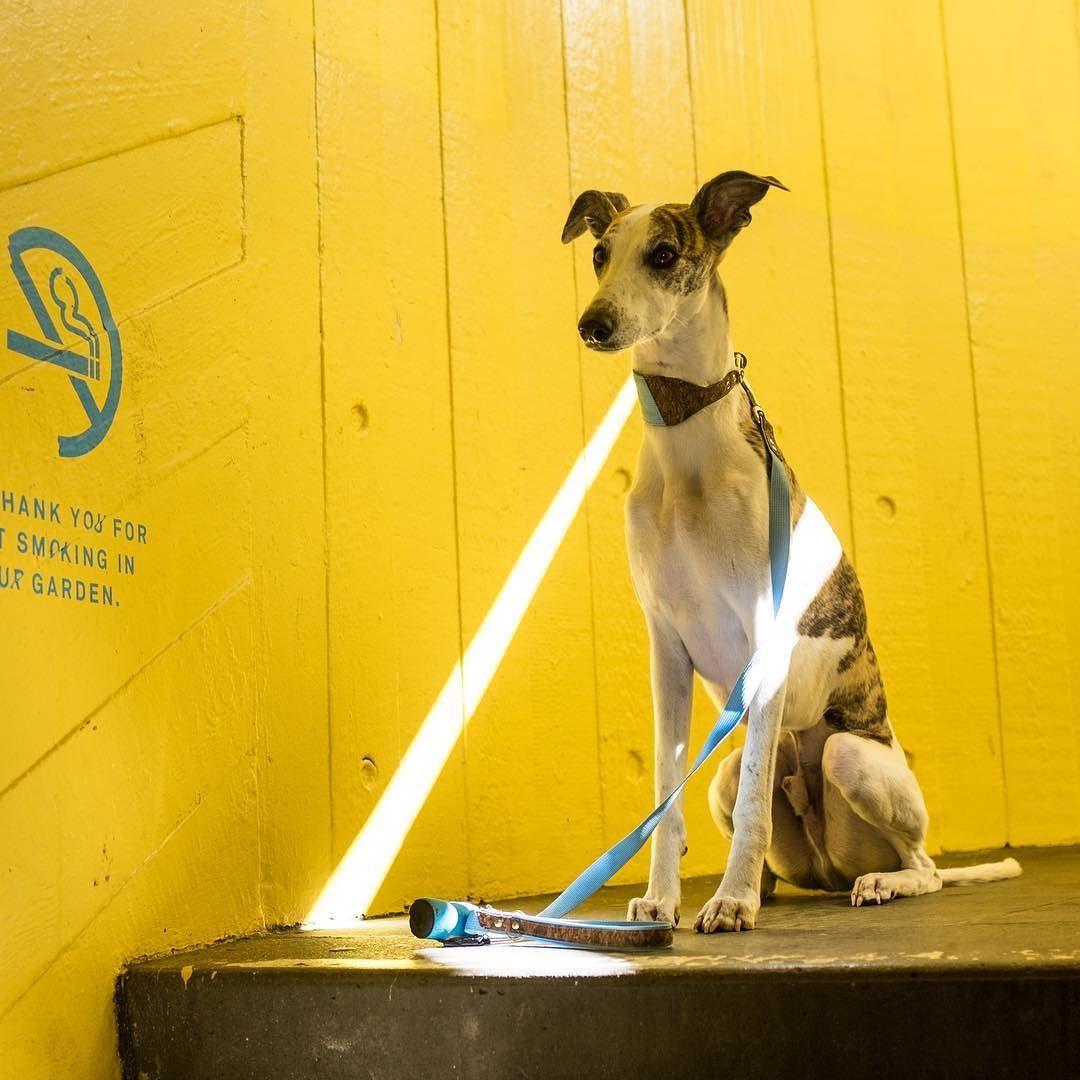 Enjoying sunshine at Southbank !  Kai wears a blue Ray of Sunshine dog lead from #dogsnug  #superdog #petsofinstaworld #instapup #lurchers #londondog #puppiesofinstagram #sighthounds #sighthound #whippet #whippets #whippetlove #whippetpuppy #ilovemydog #italiangreyhound #doglover #dogslife #dogoftheday #greyhounds #dogcoat #greyhounds #dogjumper #dogsweater #italiangreyhounds #italiangreyhoundsofinstagram