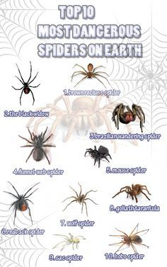 top 10 most dangerous spiders on earth infographic bugs spider rh pinterest com