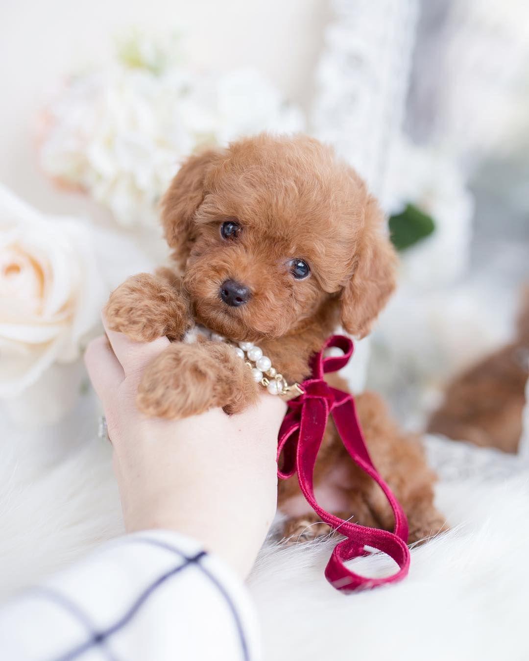 25 Teddy Bear Dog Breeds Cutest Dogs You Ever See Teddy Bear