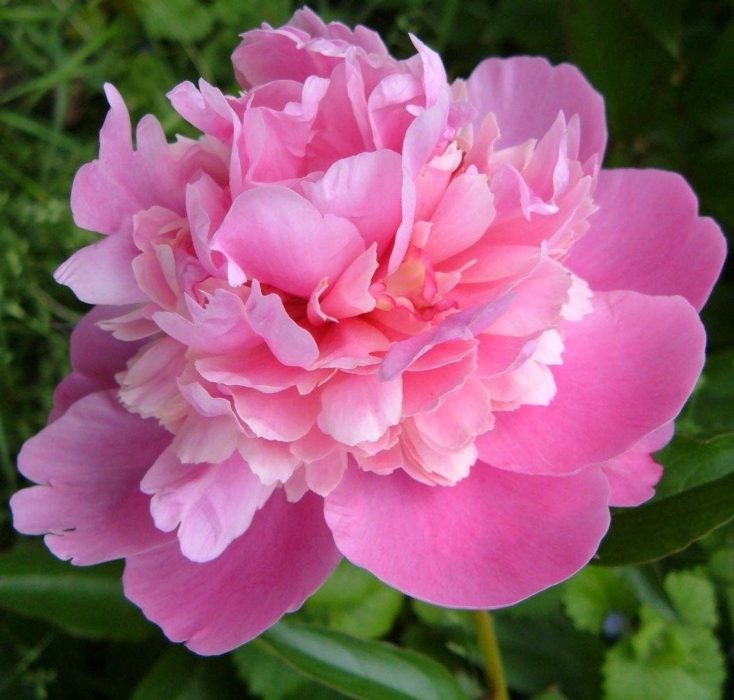 Pink peony in bloom my favorite flower too bad the bloom time pink peony in bloom my favorite flower too bad the bloom time is so dhlflorist Images