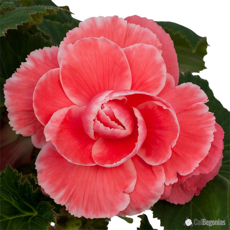 Pink Begonia Bulbs For Sale Amerihybrid On Top Begonia Melon Lace Flower Seeds Annual Flowers Flowers
