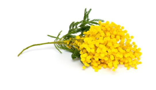 Acacia Yellow Meaning Concealed Love Flowers Name List Flower Names Flowers