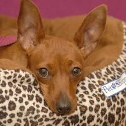 Adopt Missy On Mini Pinscher Min Pin Dogs Miniature Pinscher