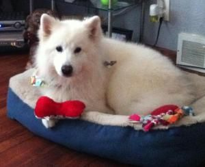 Charlie Is An Adoptable Samoyed Dog In Arlington Heights Il Hi