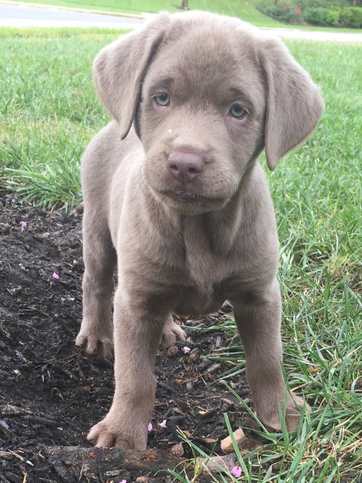 Silver Lab Puppies And Kitties Lab Puppies Cute Puppies