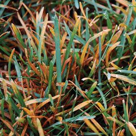 Rust Disease Infecting Lawn Grass Rust Lawn Lawn Care