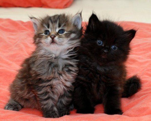 Chatons trop mignons les chats mignons chats pinterest chat mignon chatons et le chat - Photo chaton trop mignon ...