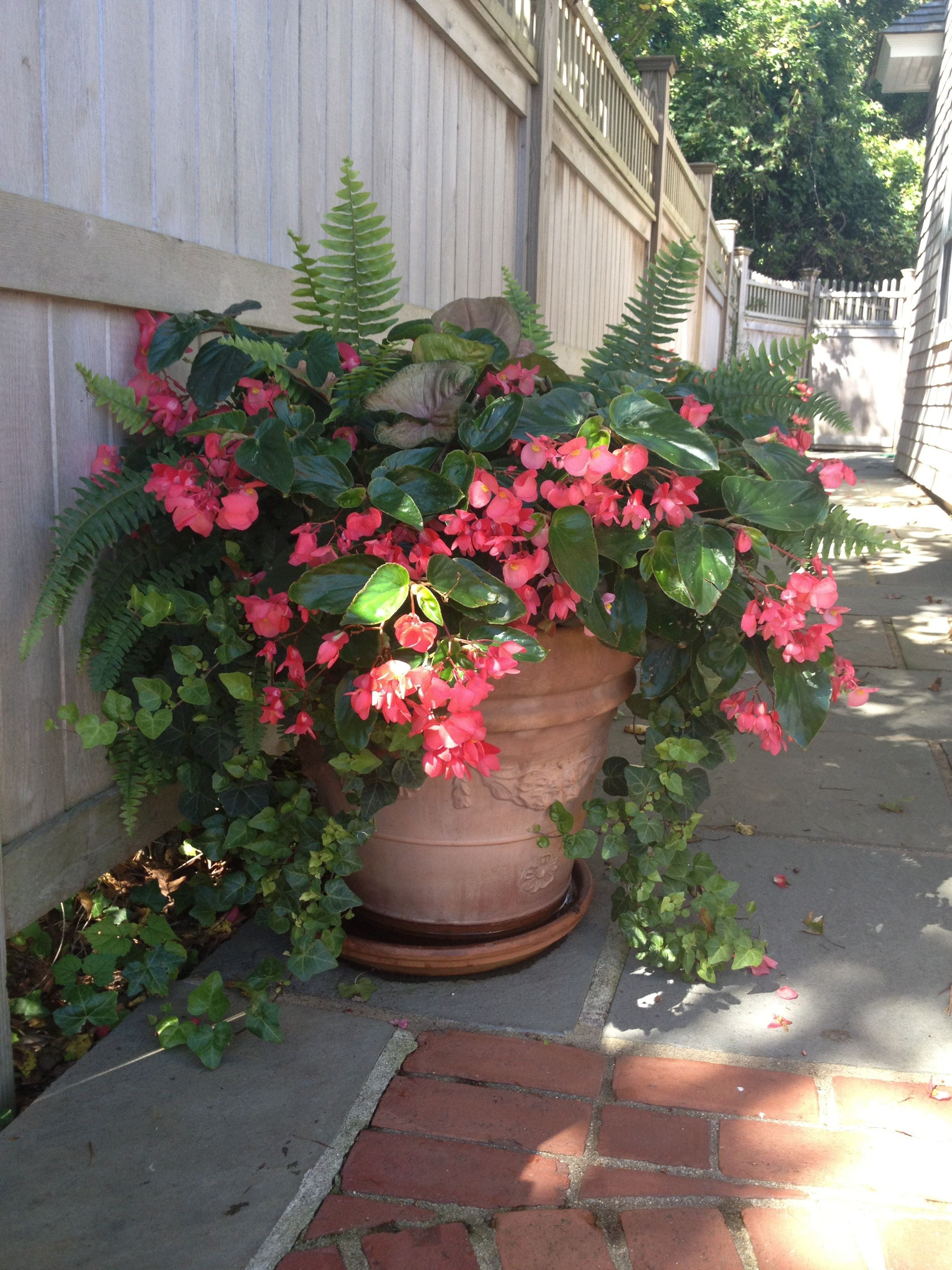 Dragon wing begonias with shade loving companions.  By~ Second Nature Designs #shadecontainergardenideas