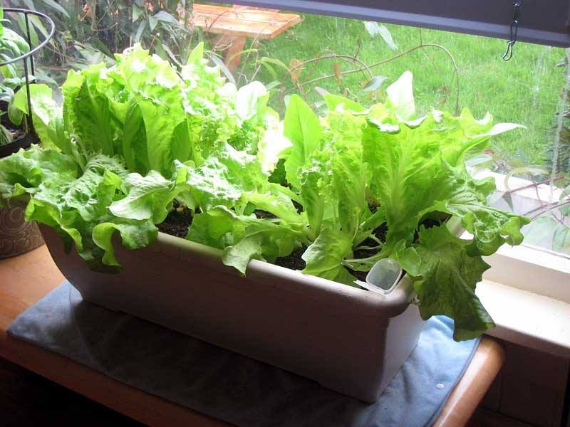 6 Vegetables That You Can Grow Indoors Tomatoes 400 x 300