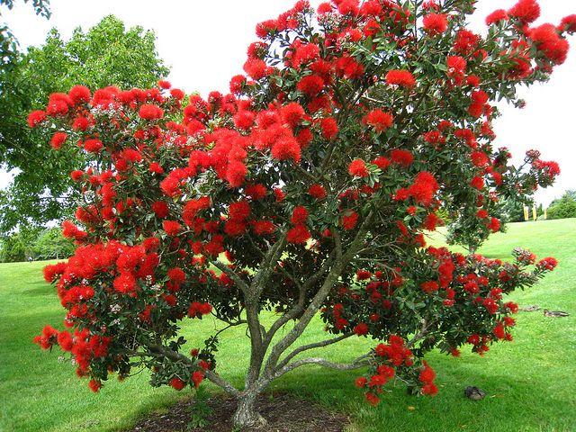 Image result for pohutukawa shrub
