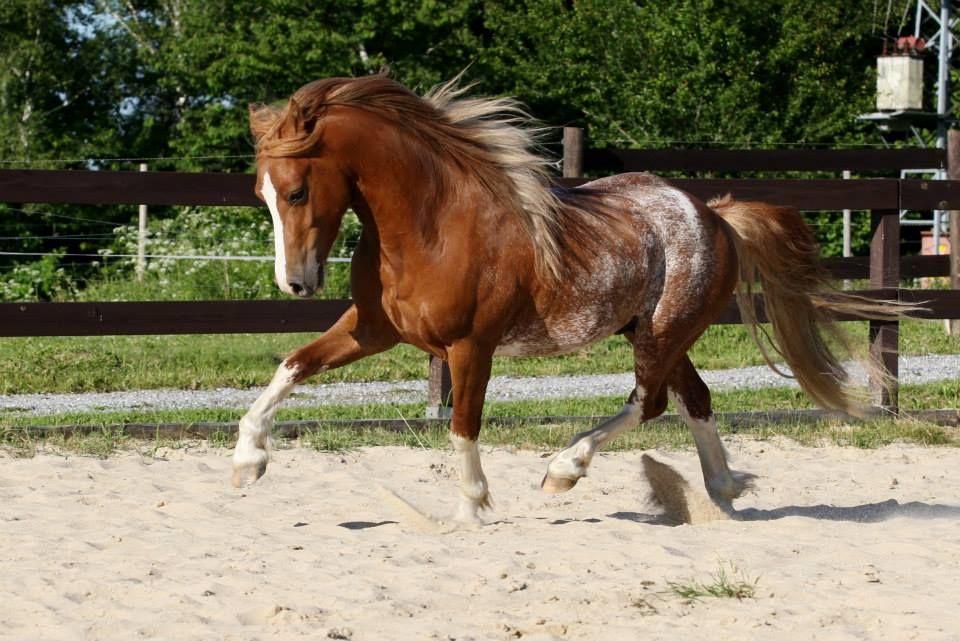 amerika gypsy king welsh pony of cob type amerika stud cz welsh rh pinterest com