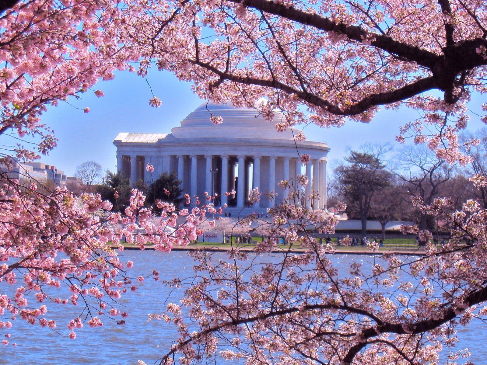Washington Cherry Blossoms Columbia S Own Cherry Blossom Festival Cherry Blossom Festival Cherry Blossom Washington Dc Cherry Blossom Dc