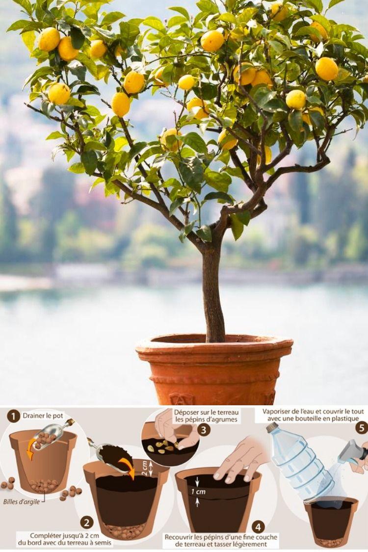 Culture Citronnier En Pot Methode Pour Planter Un Citronnnier D Interieur En 2020 Citronnier Pots Comment Planter