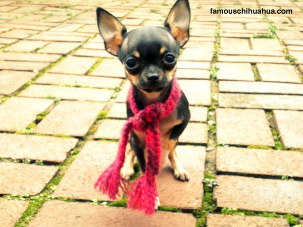 Bella Luna The Teacup Chihuahua That Carries Herself Like A Great