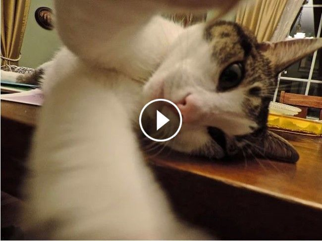 FUNNY ANIMALS: Try not to LAUGH - The FUNNIEST ANIMAL Video Compilation ;#catlover