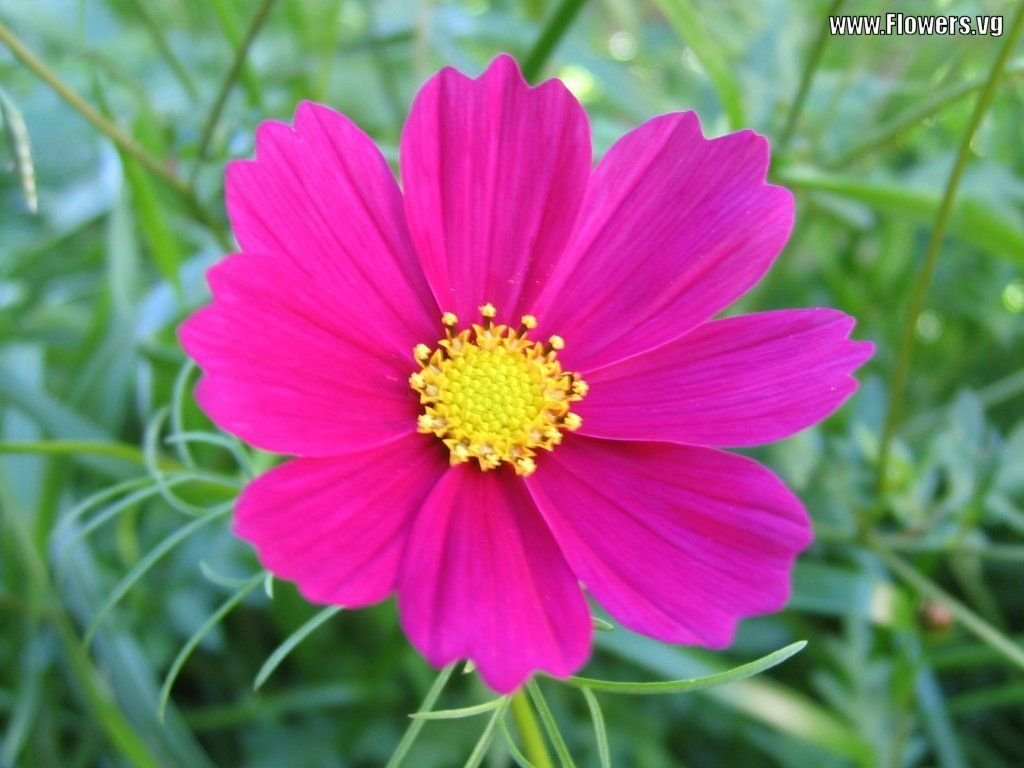 Favorite flower home inspiration pinterest cosmos flower and