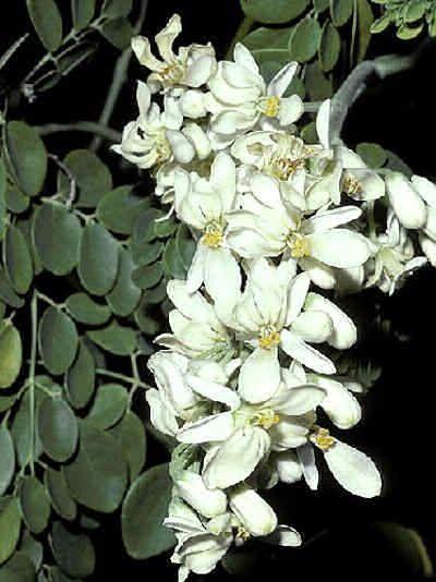 Moringa Oleifera Moringa Tree Tree Seeds Miracle Tree