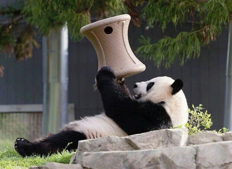 国家动物园,17岁的雌性大熊猫出现怀孕迹象,美国 US 华盛顿 Washington。7月20日的体检结果显示它的雌性激素水平出现上升,「睡眠时间变长、胃口减小」等迹象也表明可能已经怀孕。摄影师:Connor Mallon