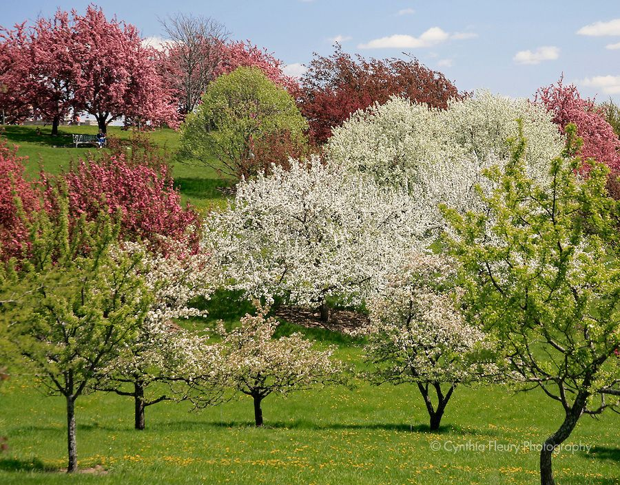 Spring Trees Trees Spring At The Mn Landscape Arboretum Crabapple Trees Spring Crabapple Tree Flowering Crabapple Minnesota Landscaping