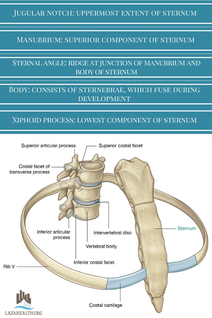 sternum and joints between ribs and vertebrae | ANATOMY | Pinterest ...