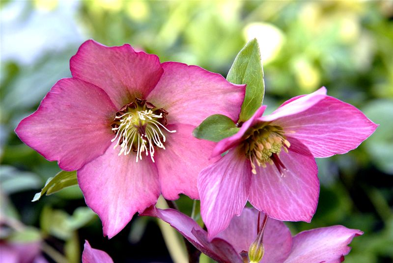 Helleborus ROSEMARY -- One of the best introductions in the last five years with unique pink and salmon colours unlike any other hellebore.