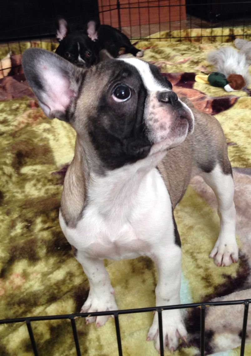Blue fawn pied French bulldog | Sable pied French bulldog ...