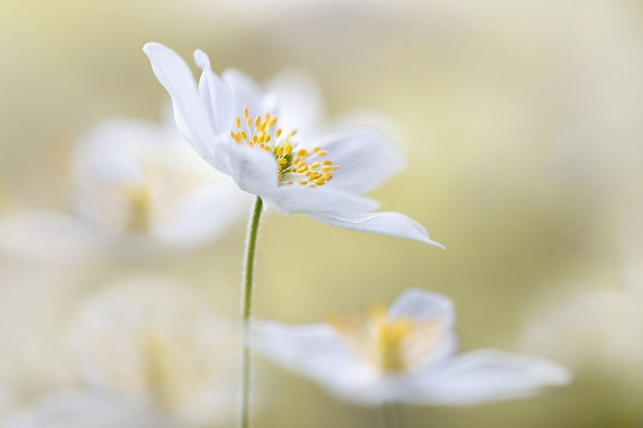 Nemorosa By Mandy Disher 素材库素材via Iftemppicpinned In Building Blocksdownld In Ios April 10 2017 At 12 50am Via If Wood Anemone Anemone Flowers