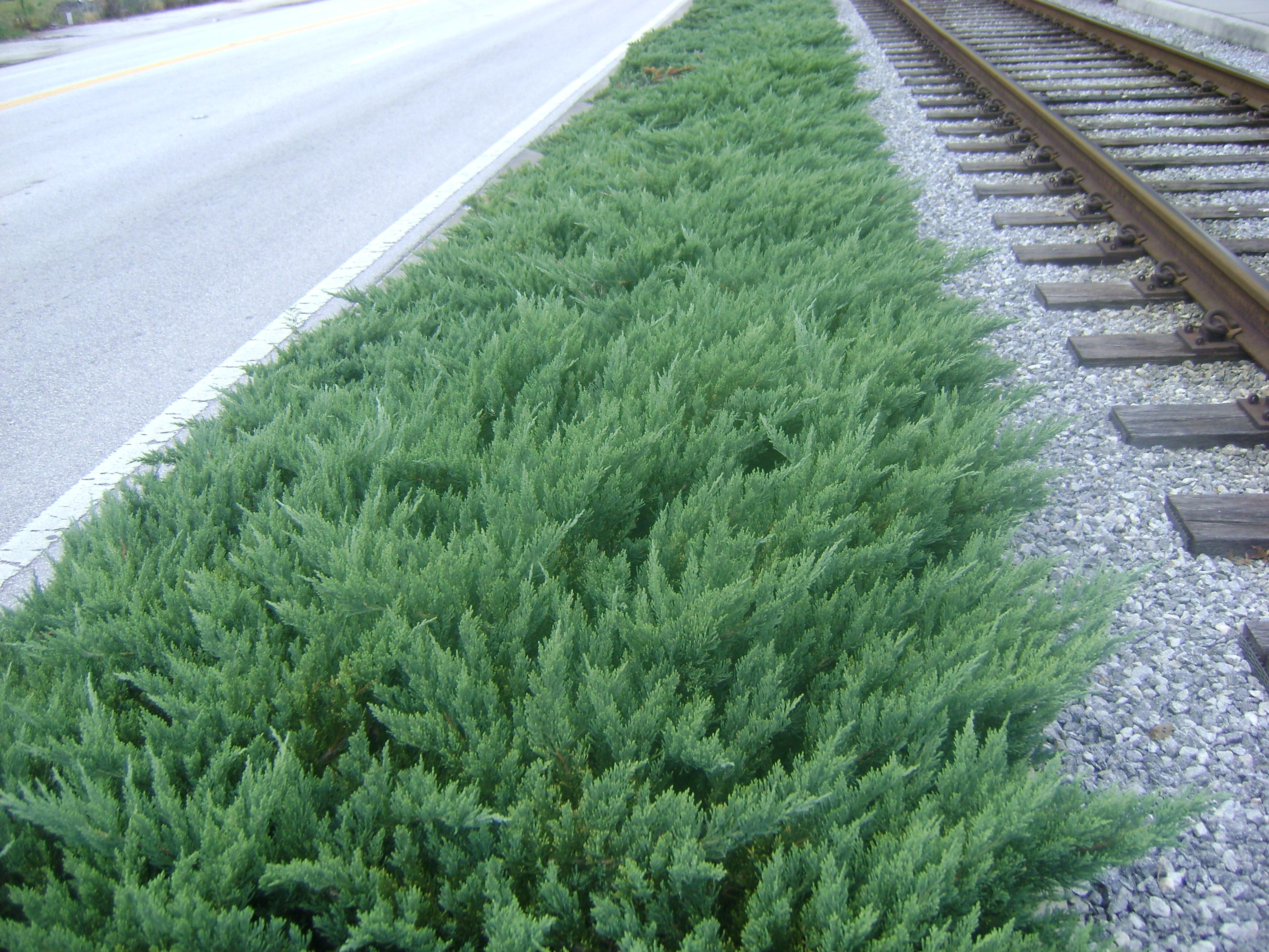 florida ground cover plants | Click to Enlarge Parsoni Juniper - but I like this turned so that it all grows in the same direction