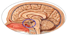 Gamma Knife Surgery India - A Sophisticated Treatment for Pituitary tumors