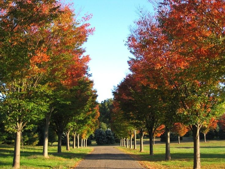 Lipstick Maple Drive Can Be Achieved With October Glory Autumn Blaze Or Fairview Flame Available From Bleri Tree Lined Driveway Shade Trees Garden Paving