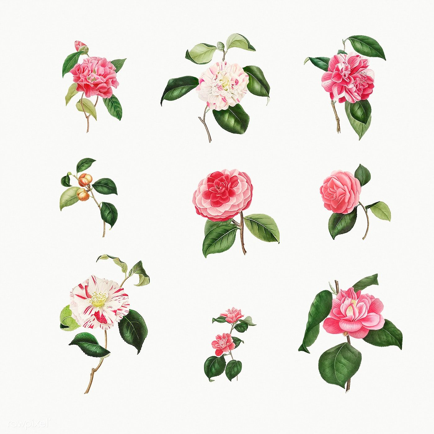 Vintage Set Of Camellia Flowers Illustration Premium Image By Rawpixel Com In 2020 Flower Illustration Rose Illustration Vintage Illustration