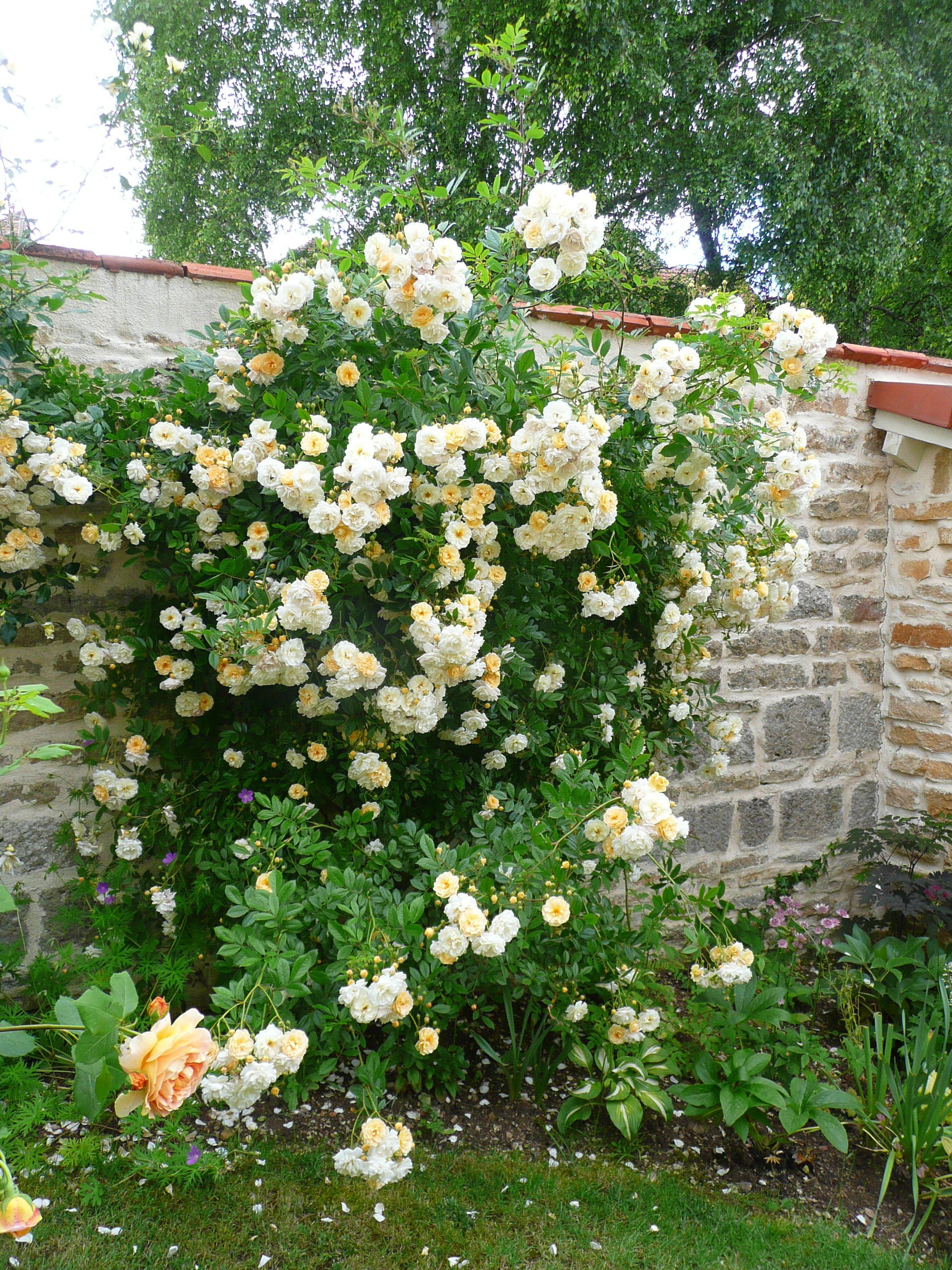 'Ghislaine de Felingonde' climbing rose