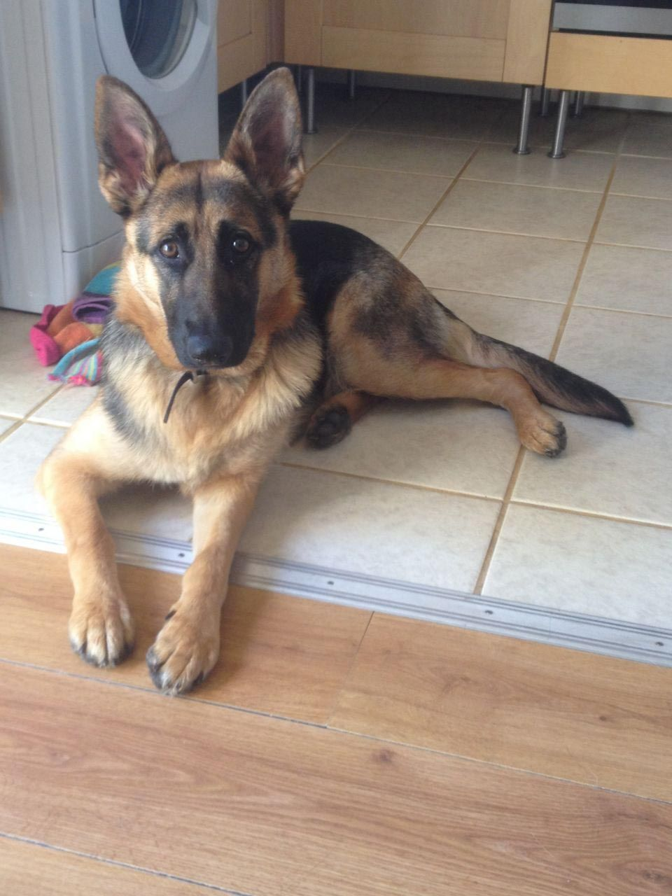 10 Month Old German Shepherd Puppies Dog Breed Information