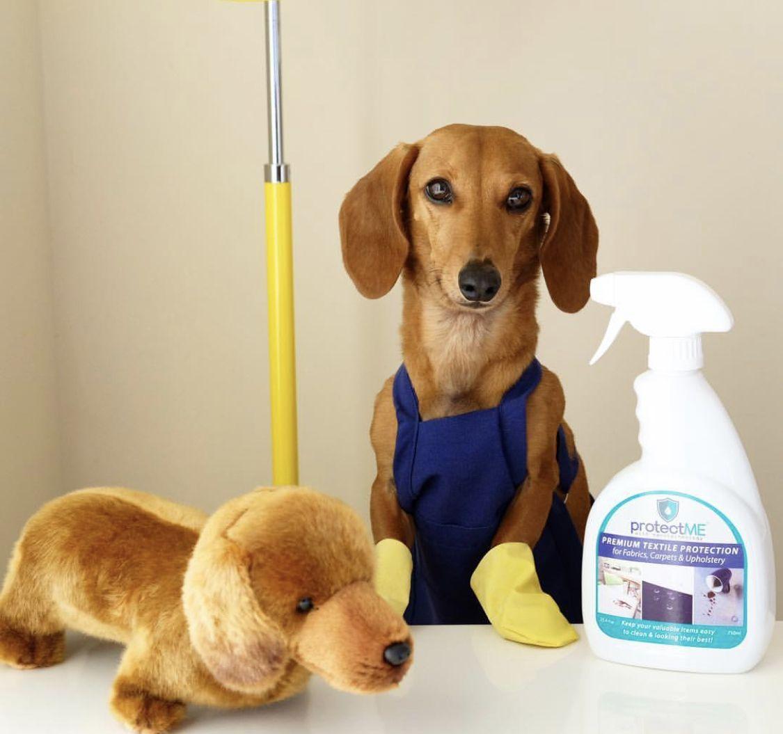 Cleaning Lady Dachshund Dog Dachshund Puppy Miniature Funny Dachshund